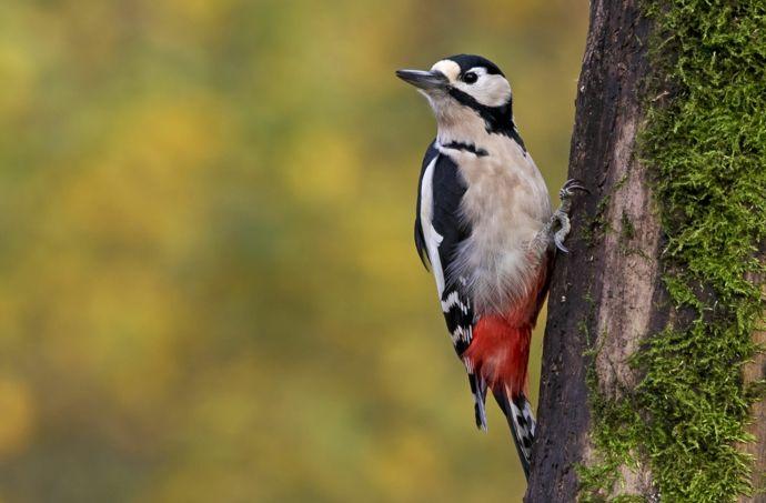 Der Buntspecht im Wald-Vogelfutterung