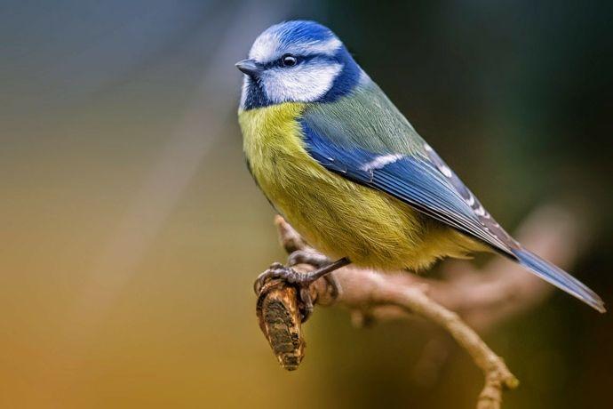 Die bunte Blaumeise-Vogelfutterung
