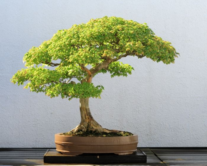 Ahorn Bonsai-Bonsai Idee Green