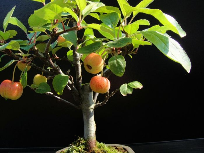 Apfel Bonsai-Bonsai Idee Green