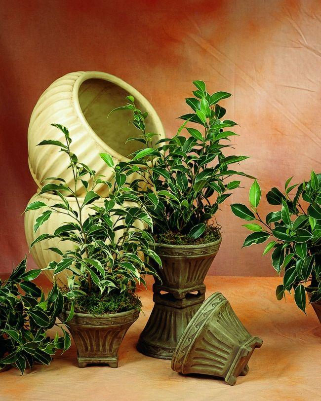 Birkenfeigen-Zimmerpflanzen