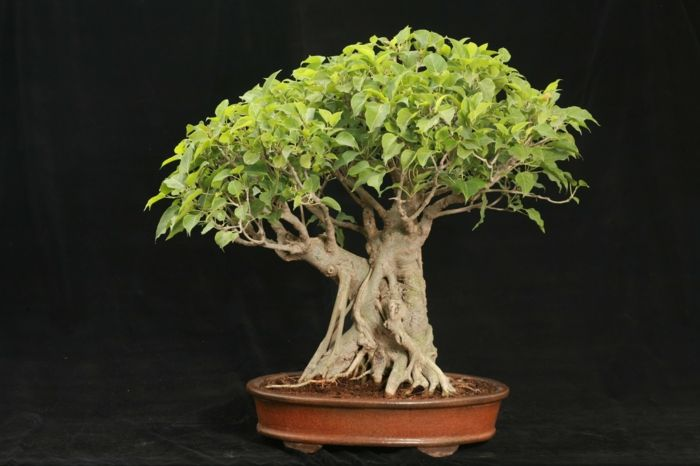 Bonsai Birkenfeigen-Bonsai Idee Green