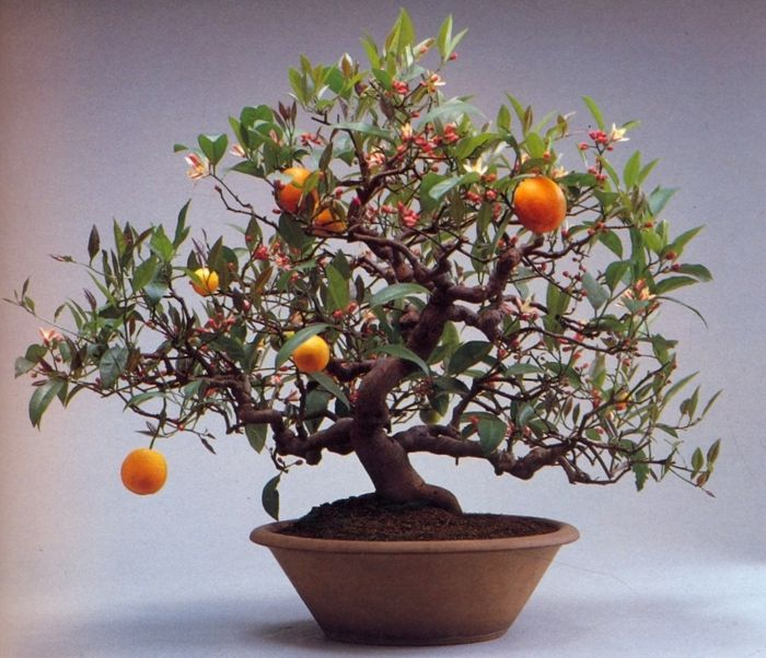 Bonsai Orangenbaum-Bonsai Idee Green