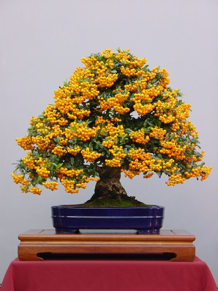Bonsai Pyracantha Fortuneana-Bonsai Idee Green