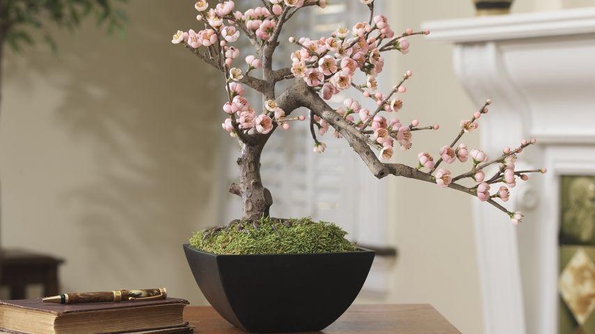 faszination bonsai. Black Bedroom Furniture Sets. Home Design Ideas