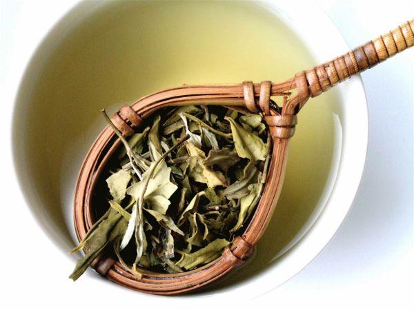 Der weiße Tee wird mit frischen und unverarbeiteten Blättern zubereitet-Weißer Tee Wirkung heilsame Teesorten Antioxidantien