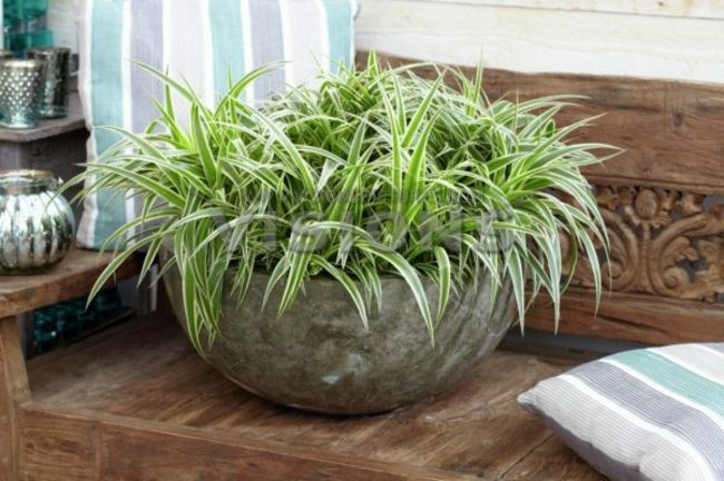 Grünlilie- Zimmerpflanzen