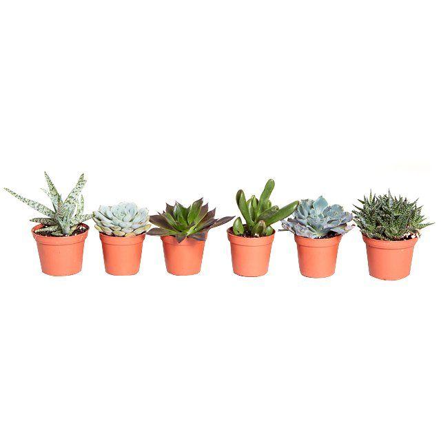 Niedliche Sukkulenten fürs Schlaf oder Wohnzimmer-pflegeleichte Zimmerpflanzen