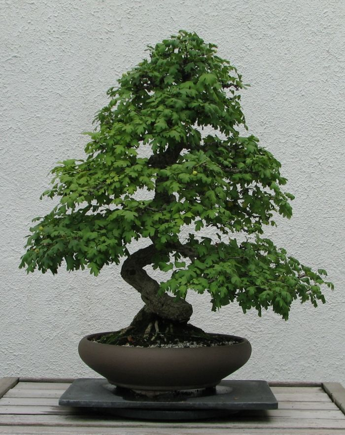 Zypresse Bonsai-Bonsai Idee Green