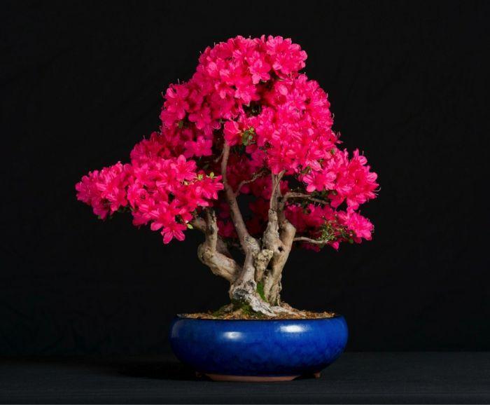 rote Azalea Bonsai-Bonsai Idee Green