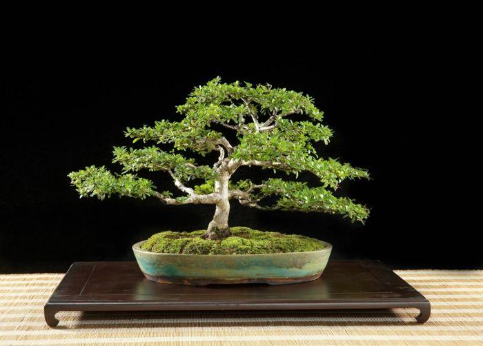 schwarze Olive Bonsai-Bonsai Idee Green