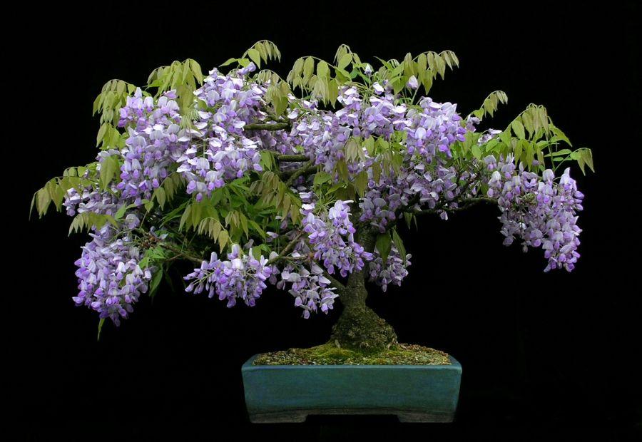 Blauregen als Bonsai-Deko Blüten