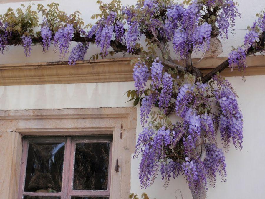Blauregen am Fenster genießen-Deko Blüten