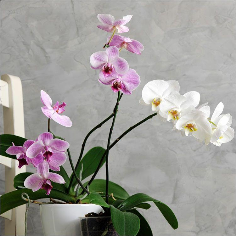 Die Orchideen werden gern geschenkt-Orchideen Arten