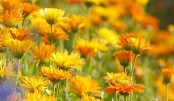 Farbe, Duft und Duftigkeit im eigenen Garten
