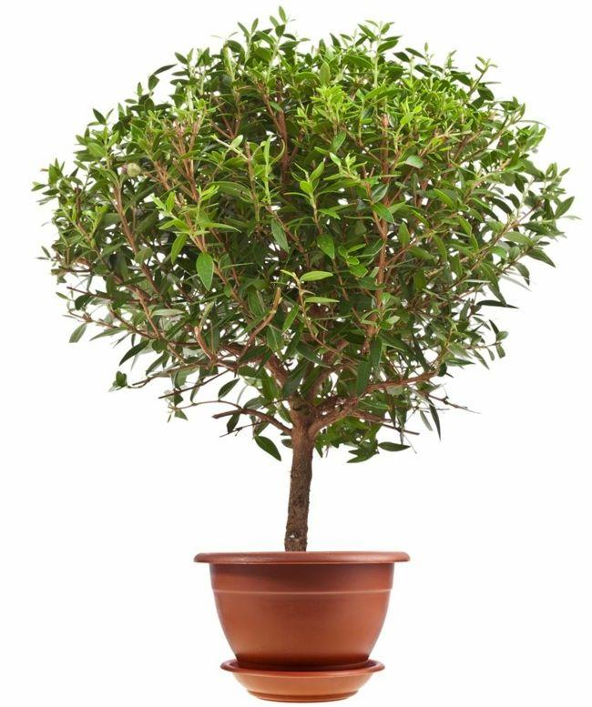 Hochzeitspflanze Pflanzen Symbolik