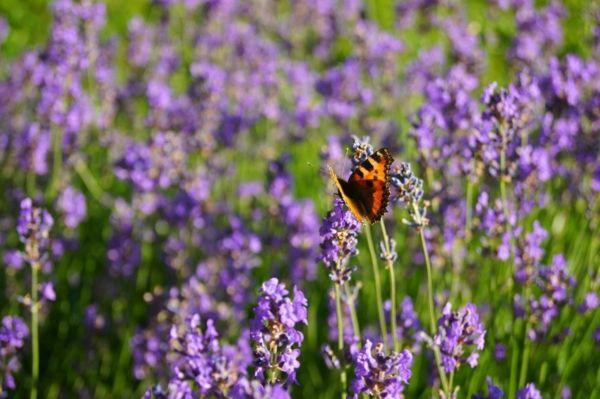 Lavender sieht hübsch aus und duftet vorzüglich