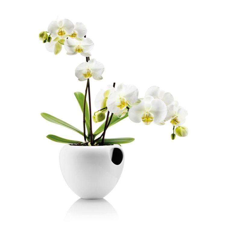 Orchidee weiß gelb Phalaenopsis