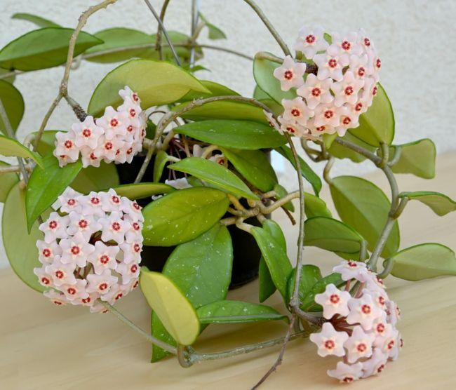 Schöne Zimmerpflanzen mit süßlichem Duft