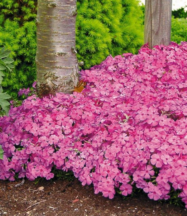 Sommerphlox als rosa Tepich im Garten