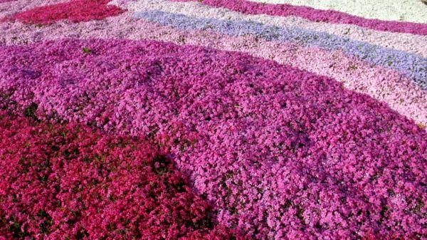 Teppich von Phlox Blumen