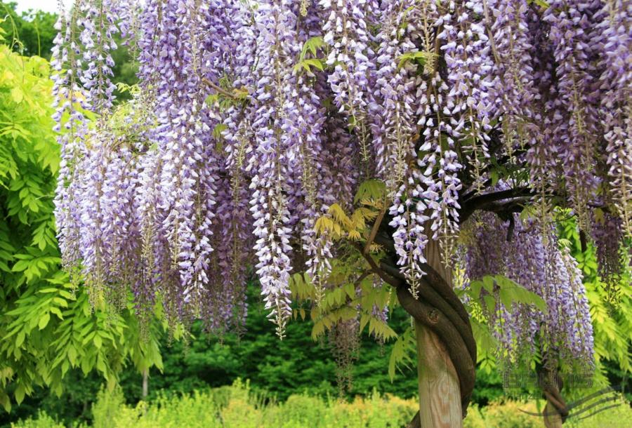 Wisteria sinensis - Chinesischer Blauregen-Deko Blüten