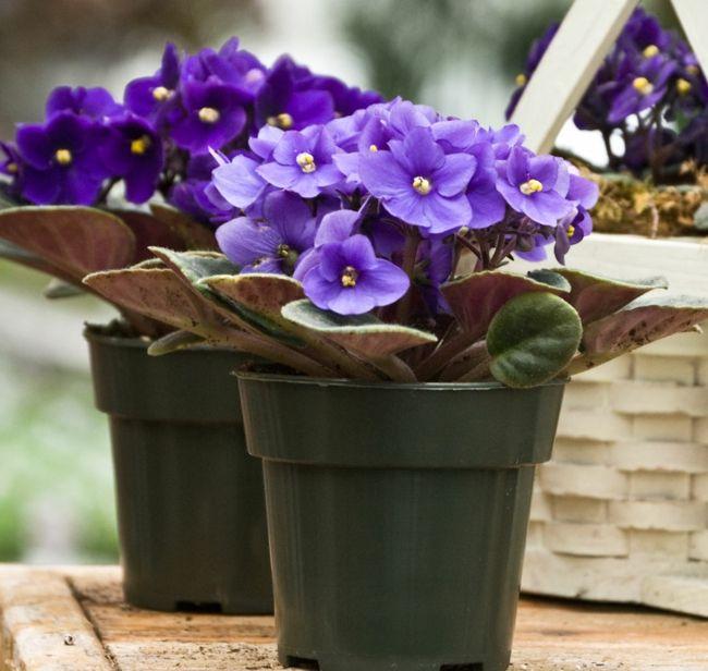 Zimmerpflanze Lila ruhige Atmosphäre