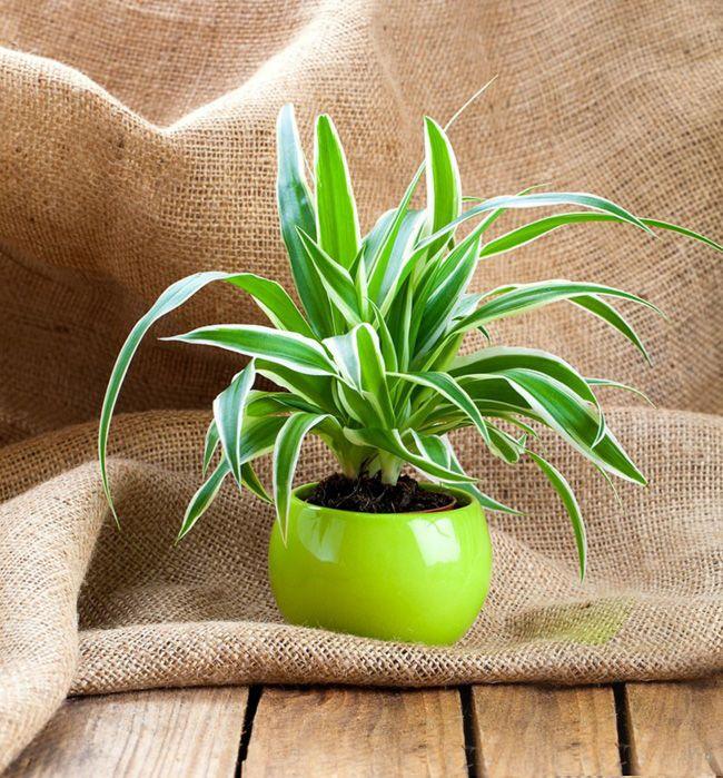 Zimmerpflanzen Hauspflanzen dünne Blätter
