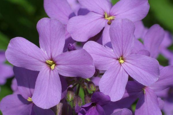 in den duftenden Blüten der Nachtviolen widerspiegelt sich die romantische Abenddämmerung