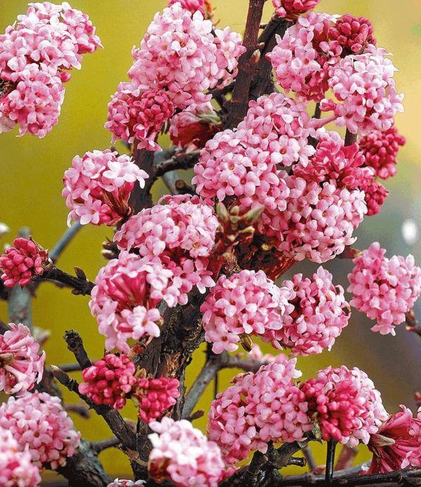mit dem Winter-Duftschneeball hat man auch im späten Herbst Duft und Farbe wie im Frühling