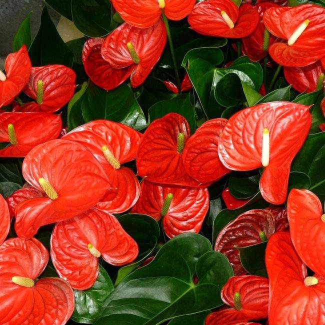 rote Zimmerpflanzen Symbolik