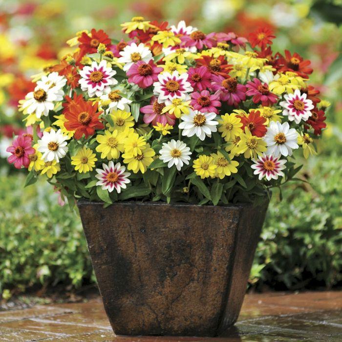Farbmischung von Sommerblumen für den Topf