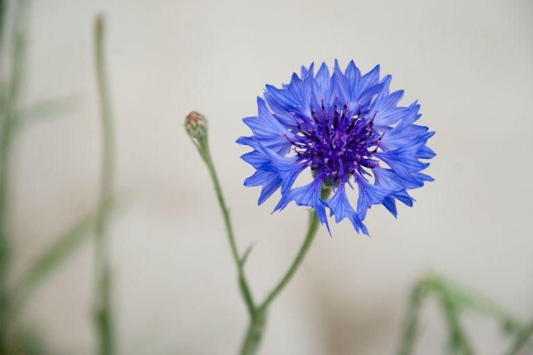 Kornblumen sehen nicht nur im Garten schön aus, sondern auch im Topf