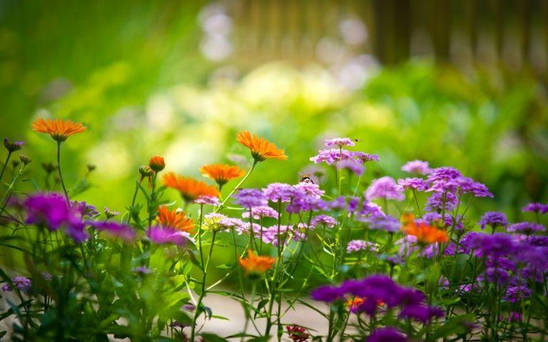 Ringelblumen blühen orange im Sommergarten