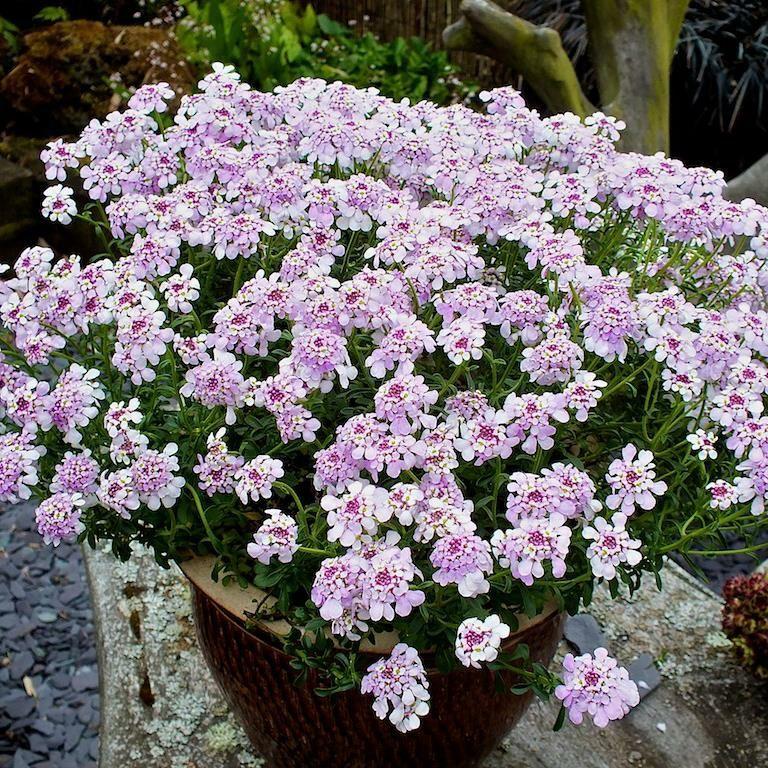 Schleifenblumen gedeihen wunderschön auch im Topf auf Terrasse oder Balkon