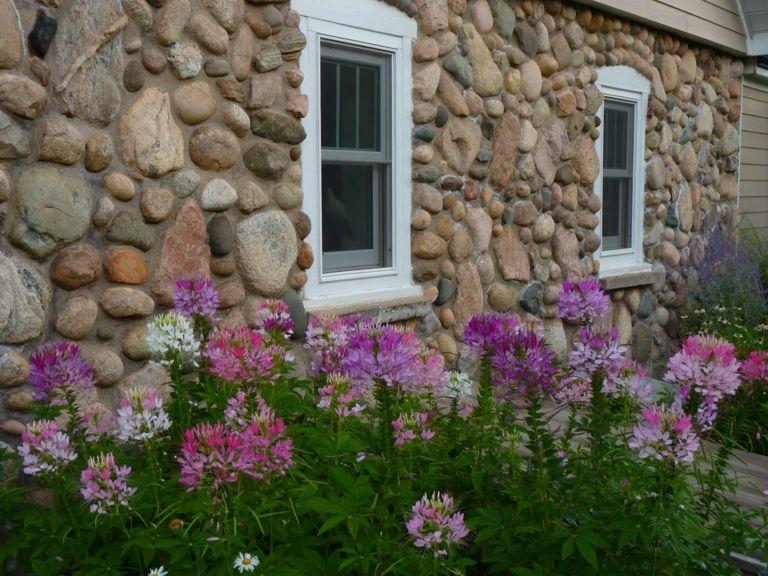 Spinnenblumen im kleinen Garten vor dem Haus