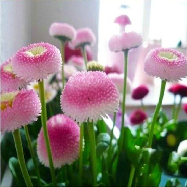 """die kultivierten Bellis tragen Namen wie """"Roggli"""", """"Pomponette"""" oder """"Habanera"""""""