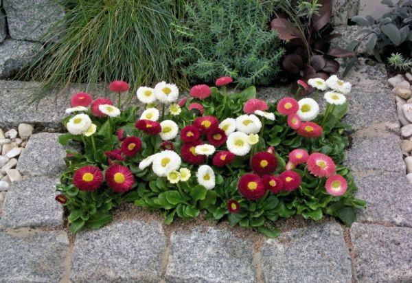 in dem Gärten sehen pastelligen bis kräftigen Rot- und Rosatönen von Gänseblümchen wunderschön aus