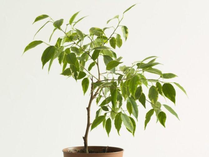 Birkenfeige beliebt Zimmerpflanze Verbesserung Raumklima