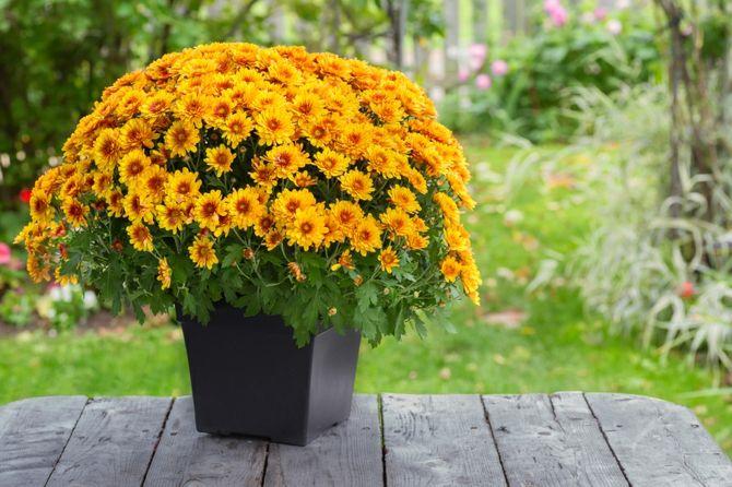 Chrysanthemen luftreinigend gesund Raumklima