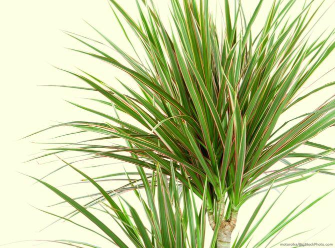 Drachenbaum Vorteile pflegeleicht elegante Optik