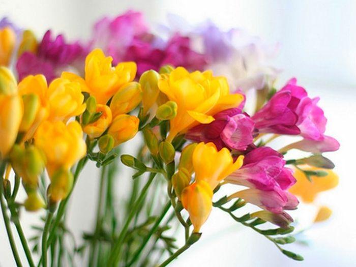 Freesien Knospen Bund Vase Schnittblumen beliebt
