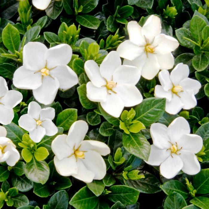 Gardenie Schlafzimmer natürliches Mittel Beruhigung