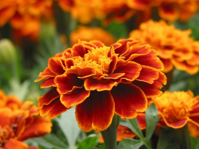 Gerbera Orange Blüten Raumklima filtern