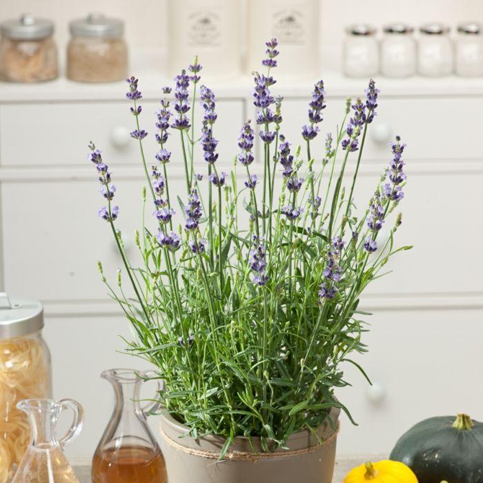 Lavendel Zimmerpflanze Schlaf Förderung