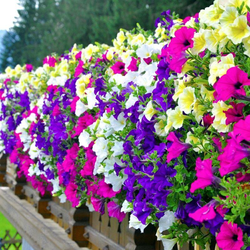 Petunien blühstark Balkonpflanze Pflege