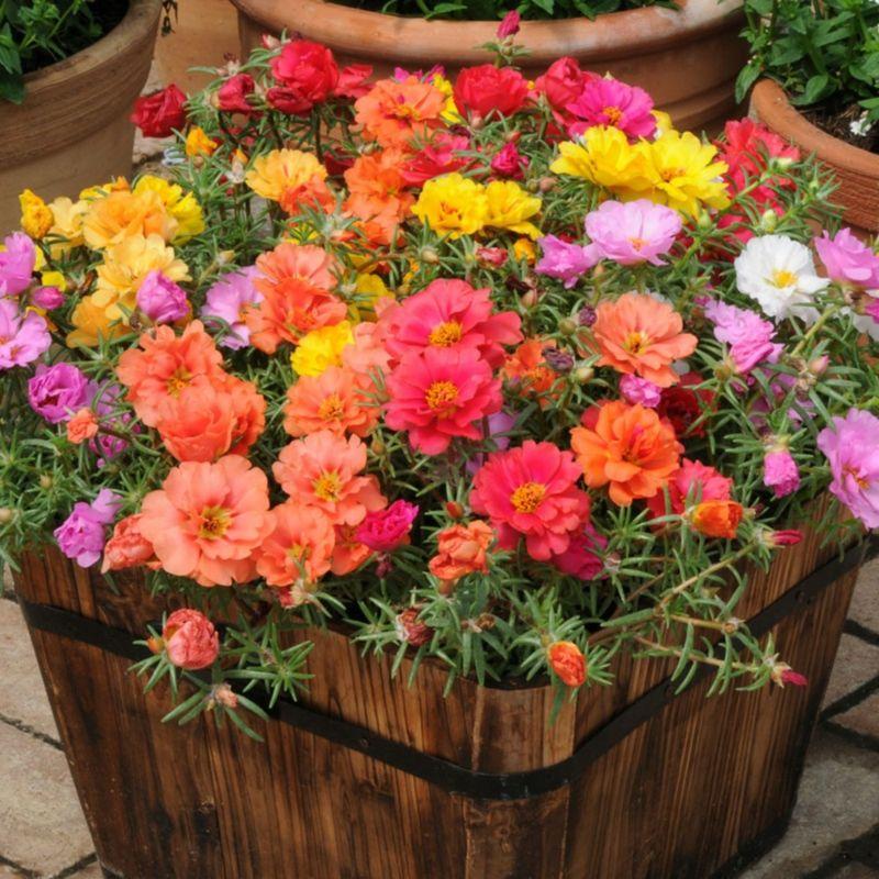 Portulaca Arten Portulakröschen Sommerblume einfährig