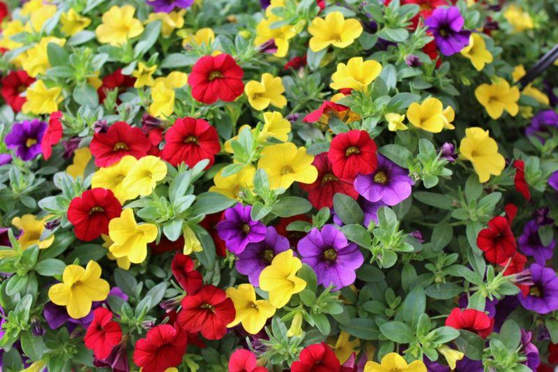 Zauberglöckchen Blütenreichtum Außenbereich sonnig