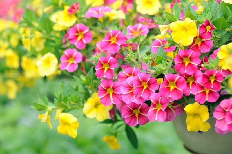 Zauberglöckchen Glockenblüten Sommer Pflanze
