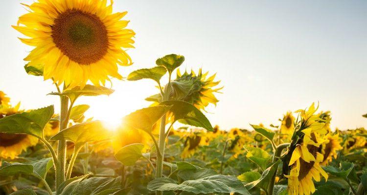 Die Blüten der Sonnenblume richten sich an sonnigen Tagen immer nach der Sonne
